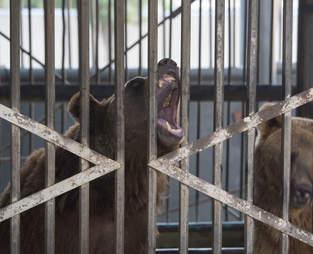 Bear locked up inside metal cage