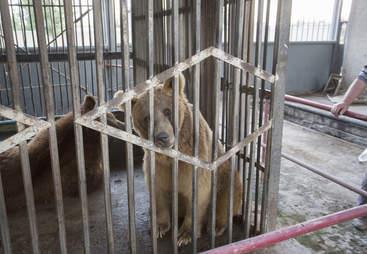 Captive bear inside cage