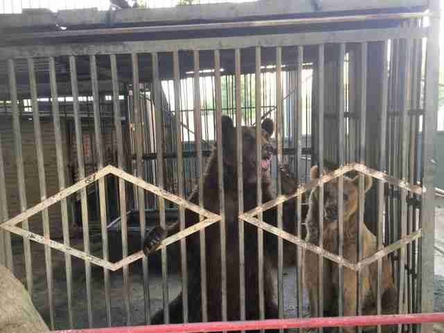 Bears locked up in metal cage at bus depot
