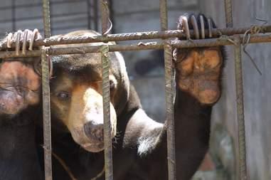Asiatic black bear at dilapidated zoo in Vietnam
