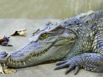 Gator at rest