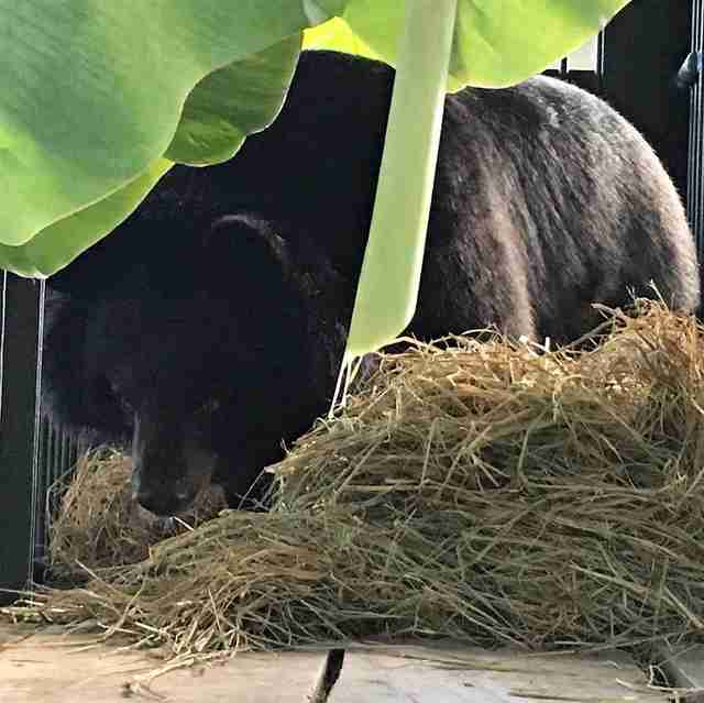 Bear saved from bile farm in Vietnam