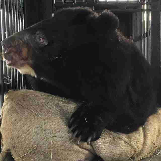 Asiatic black bear saved from bile farm by Four Paws