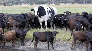 cow knickers holstein