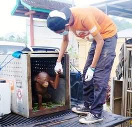 Man holding hand of rescue orangutan
