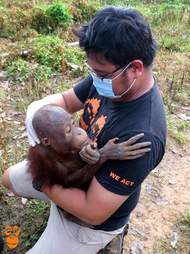 Rescuer holding small orangutan