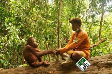 Orangutan sitting on tree with caretaker