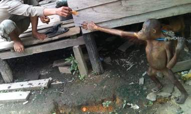 Rescuers handing food to chained orangutan