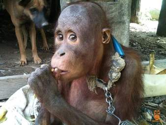 Baby orangutan chained up outside