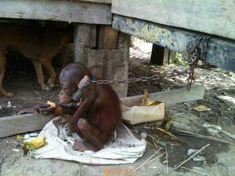 Orangutan chained up outside