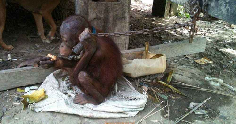 Tiny Orangutan Spent Five Years Chained Under Someone's House