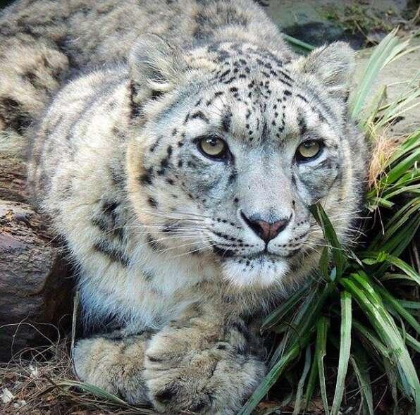 snow leopard shot dead