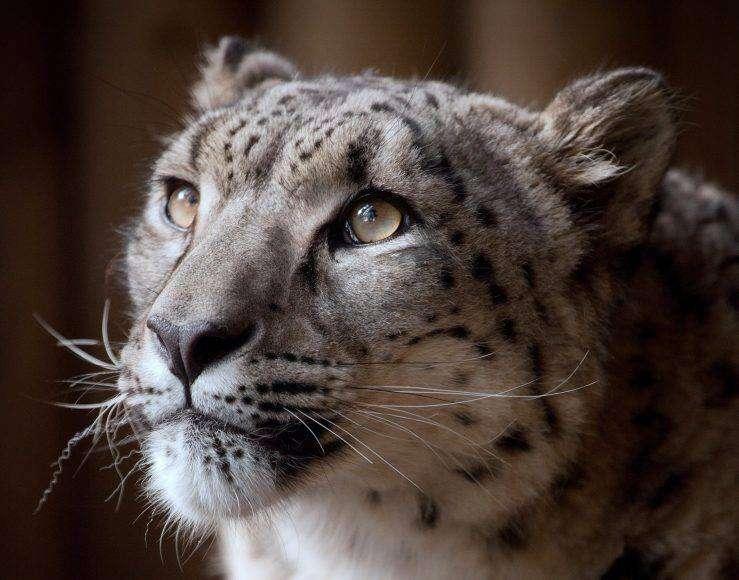 snow leopard death margaash