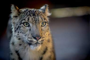 leopard killed zoo england