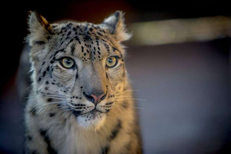 leopard killed zoo england