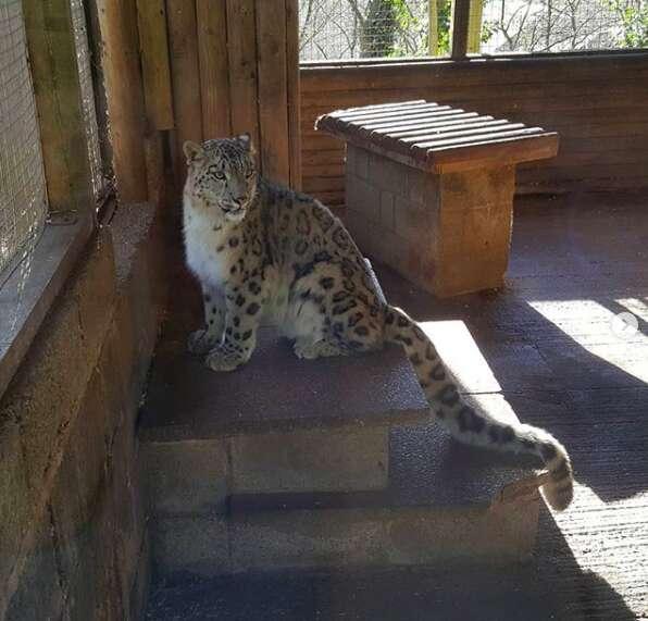 snow leopard escape england