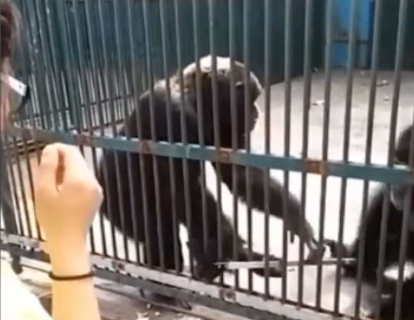 Watch This Chimp Return a Selfie Stick His Friend Stole and Believe in Goodness Again