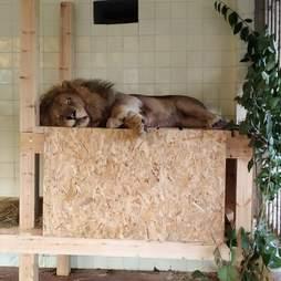 Rescued lion sleeping on platform