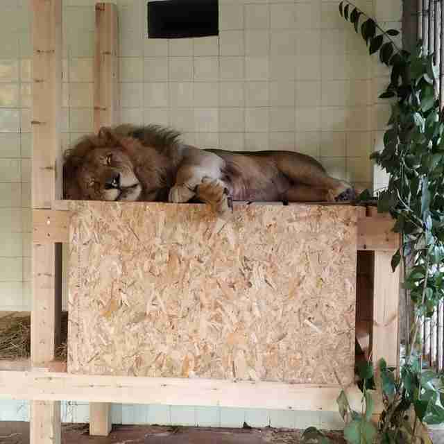 Rescued lion sleeping on platform