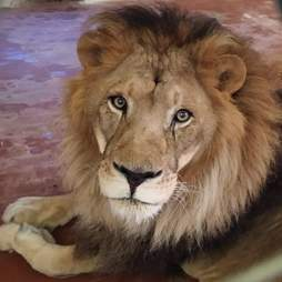 Lion recovering at new facility