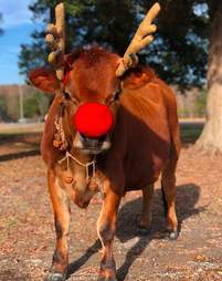 Pet cow a dad gave his family for Christmas