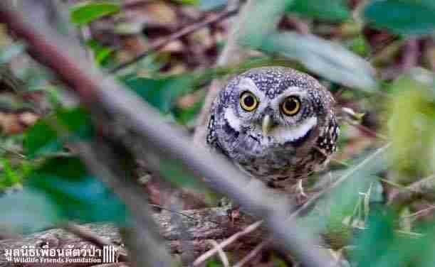 Wild owls caught in fence get help in Thailand