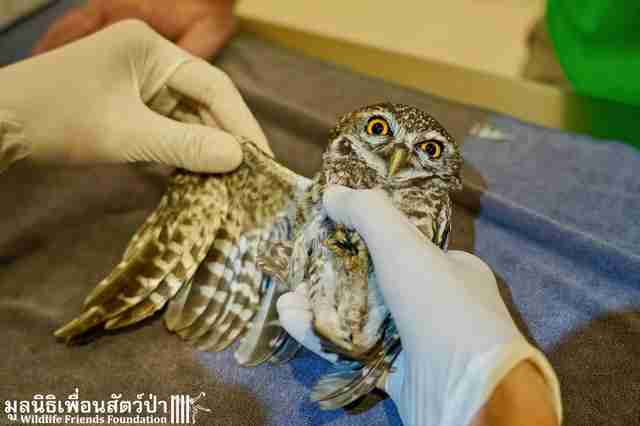 Wild owl with wing caught in fence gets help in Thailand
