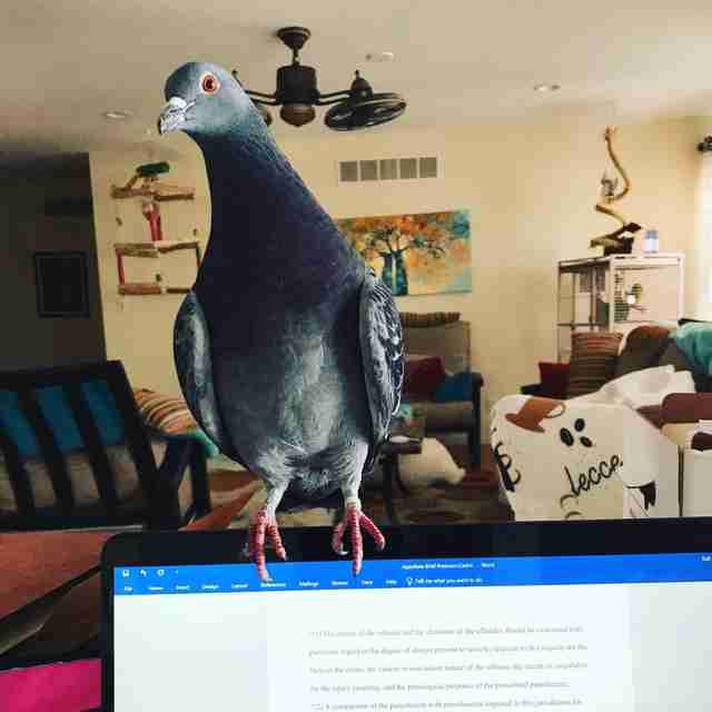House pigeon perching on laptop