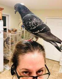House pigeon standing on rescuer's head