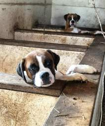 boxer dogs rescue puppy mill
