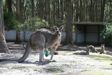 Hugely muscular kangaroo with leg injury gets help
