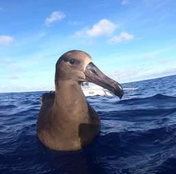 albatross pacific plastic trash