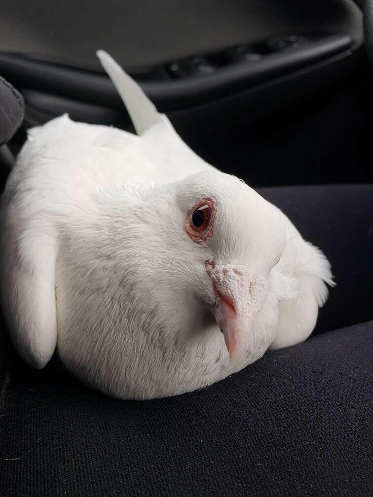 Dove release survivor