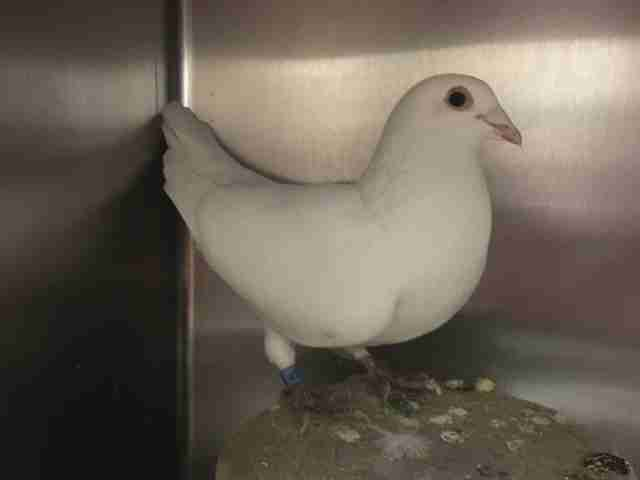 'Wedding dove' who ended up in shelter