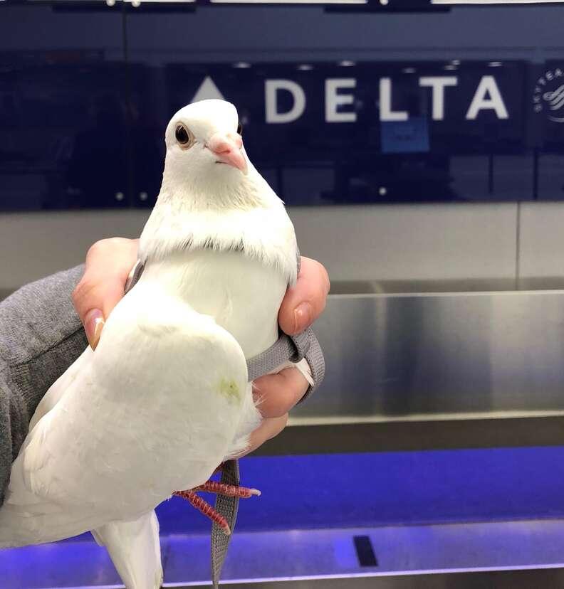 Dove release survivor on his way to sanctuary