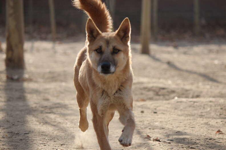 Dog trotting across dirt