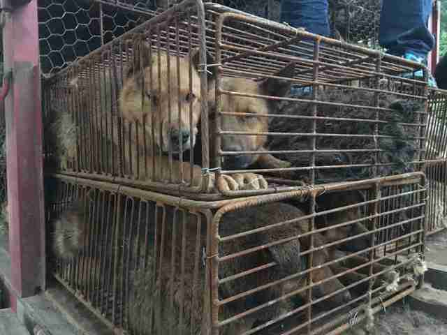 Dogs packed into wire cages