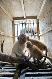 Baby macaques inside cage