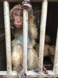 Baby macaque peering out of cage