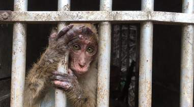Baby macaque looking out of cage