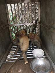 Macaque monkeys inside cage