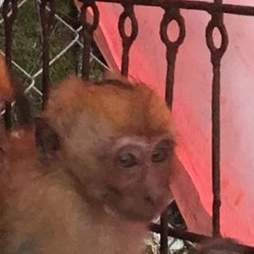 Rescued baby monkey with burned head