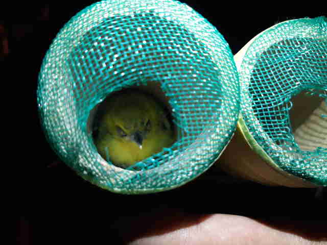 Birds inside pipes