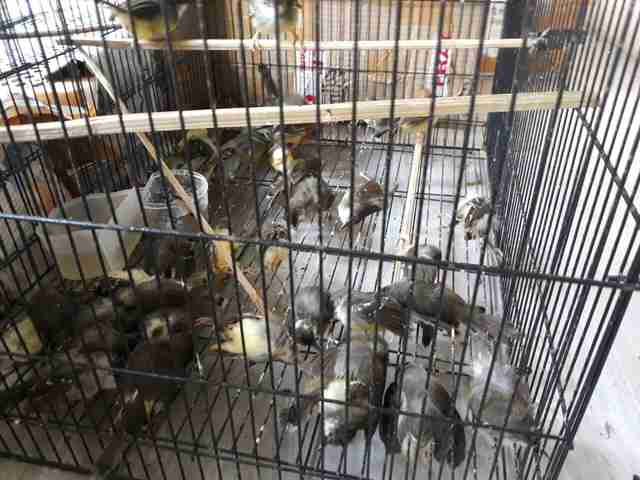 Surviving birds inside a cage