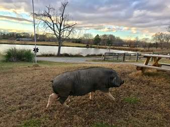 Pig running along grounds of animal sanctuary