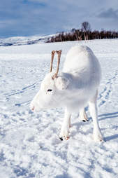 white reindeer norway
