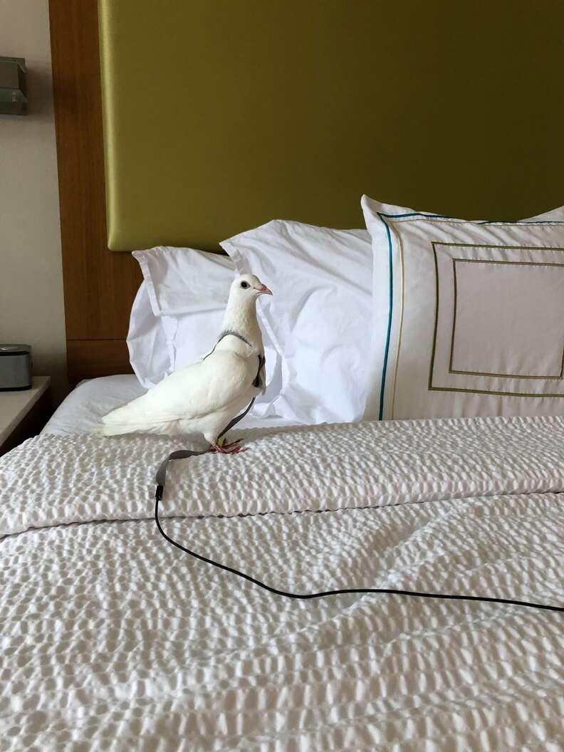 'Dove release' survivor pigeon getting rescued