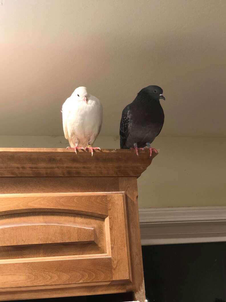 'Dove release' survivor pigeon meeting new friend at sanctuary