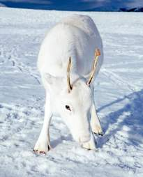 norway white reindeer