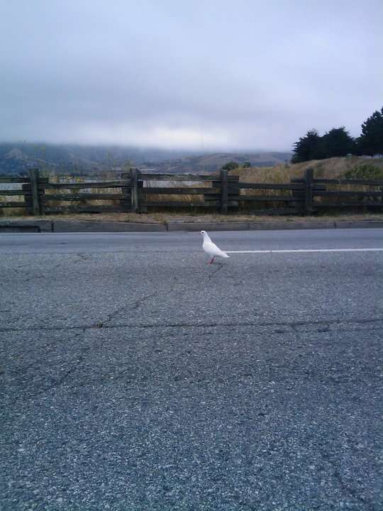Lost king pigeon